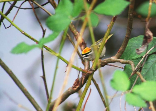 Newbold Golden-crowned Kinglet for Cheasty blog large