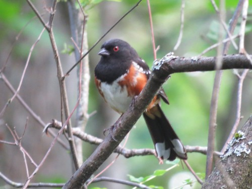 Newbold Spotted Towhee Cheasty june 2016 EN