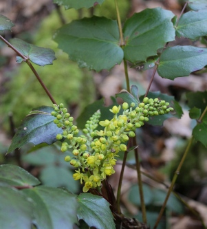 plant, oregon grape